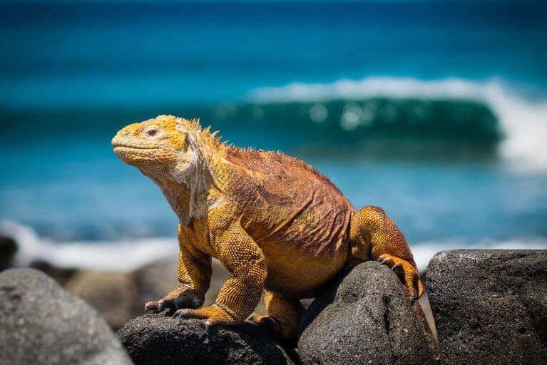 Close up of Iguana sitting on a rock in the Galapagos Islands during a private Ecuador trip