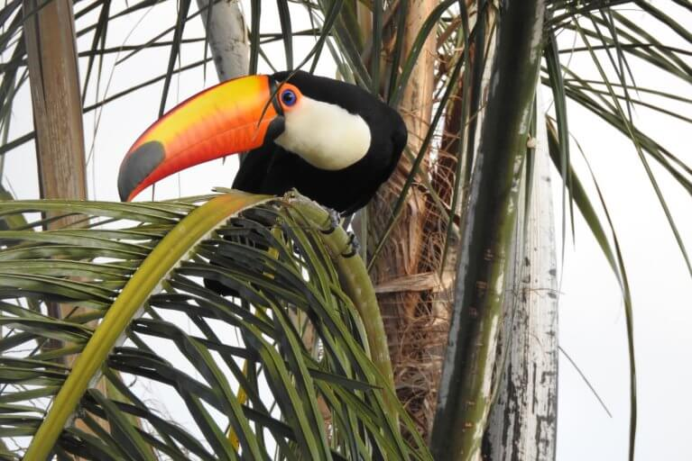 Toucan in a tree at the Iguassu Falls