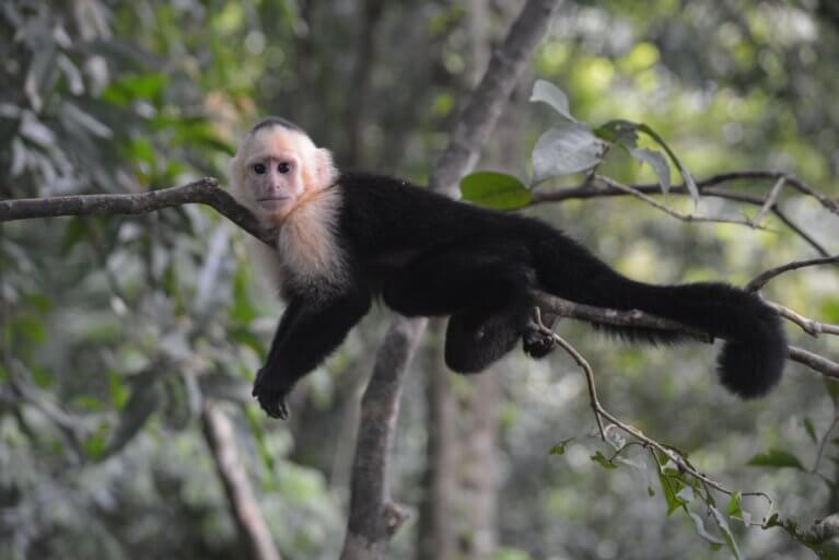 Monkey in the rainforest on luxury trip to Costa Rica