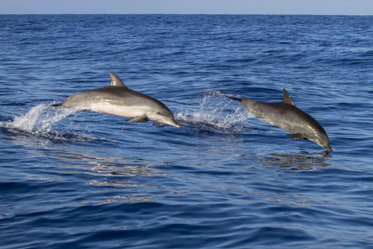 Two dolphins in the ocean as seen during a private boat tour in Costa Rica