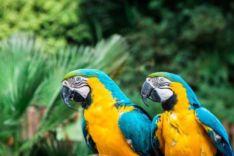 Close up of two macaws side by side in the Amazon rainforest