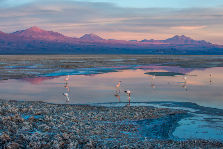 Flamingos at sunset in Salar de Atacama during a luxury trip to Chile