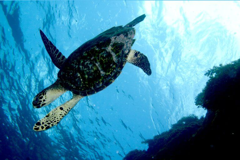 Underwater sea turtle during private scuba diving tour of Fernando de Noronha