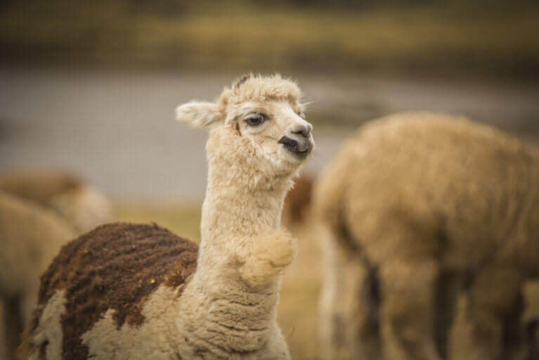 Close up of Peruvian llamas in Machu Picchu on a private Peru tour