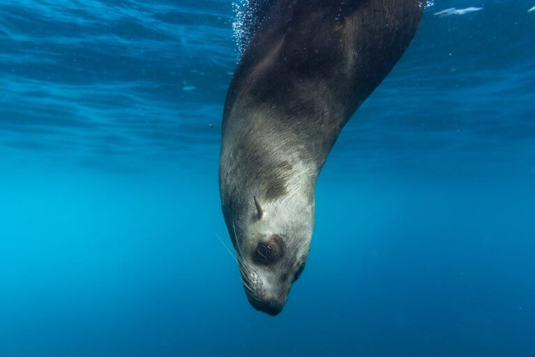 Close up of seal diving into the water in the Galapagos islands during luxury ecuador trip