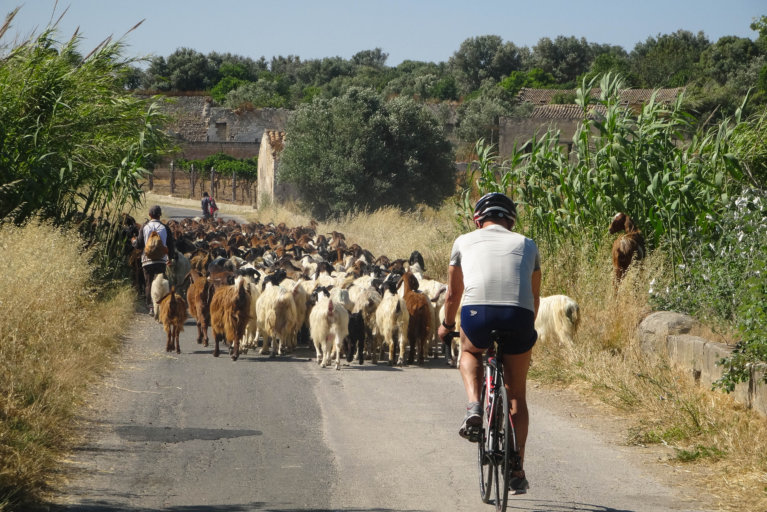 Back view of man biking in Sicily on rural road with sheep during private Sicily tour
