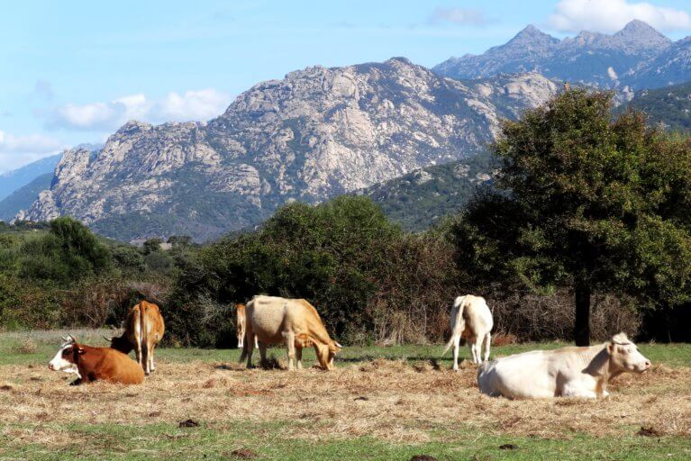 Cows grazing in Corsican countryside with backdrop of mountains during private Corsica tour