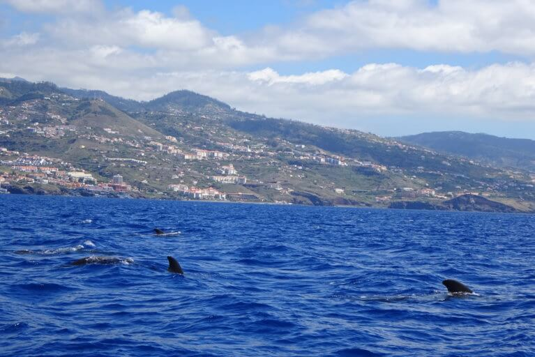 Whale watching in Madeira during a luxury Portugal tour