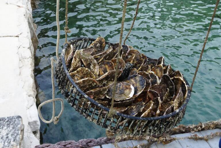 Close up of freshly caught oysters for private oyster tasting during luxury Croatia trip