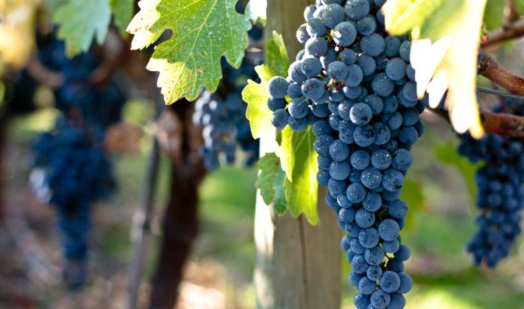 Grapes in Chilean vineyard during luxury Chile tour